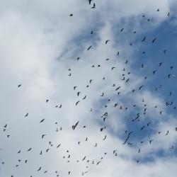 Vögel am leicht bewölkten Himmel