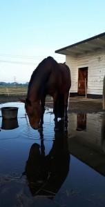 Braune Stute im Wasser mit Spiegelbild