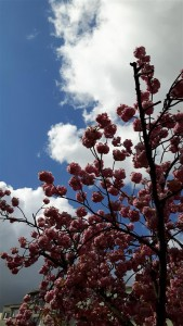 rosa blühender Baum vor blauem Himmel
