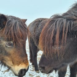 Zwei Shetland-Ponies Nüster and Nüster