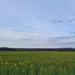 Abenddaemmerung über gelbbluehendem Feld